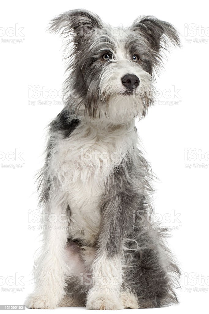 Gray and white seven month old, mixed breed dog stock photo
