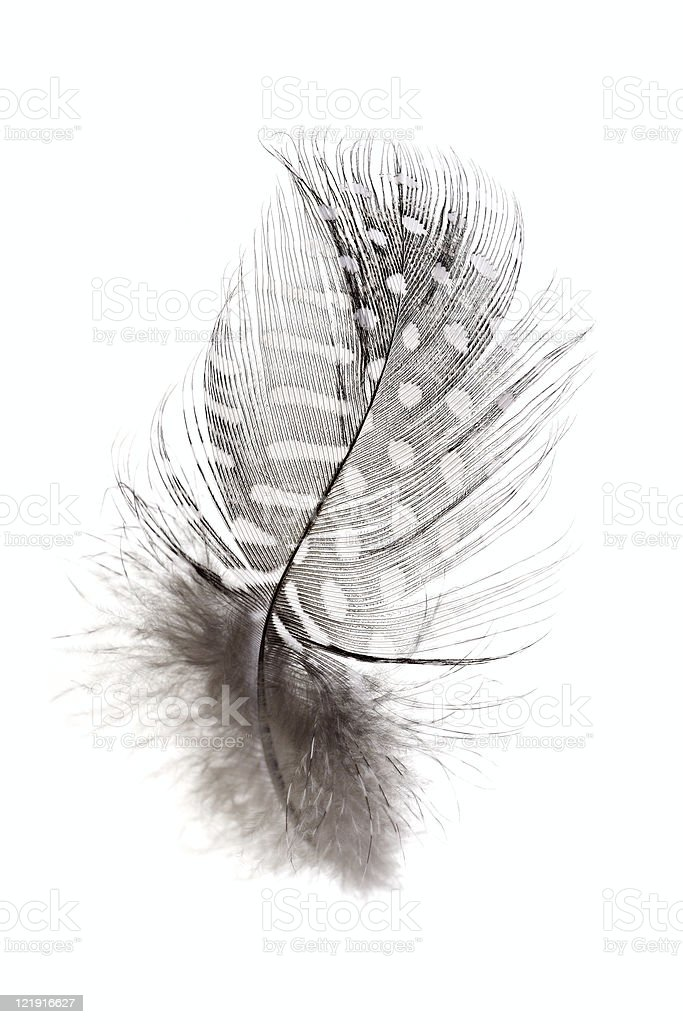 Gray and white spotted feather on white background royalty-free stock photo