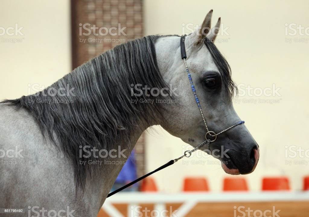 Gray Arabian horse in stud stock photo