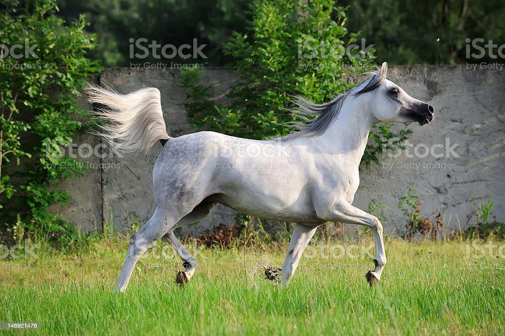 gray arabian horse running trot on pasture stock photo