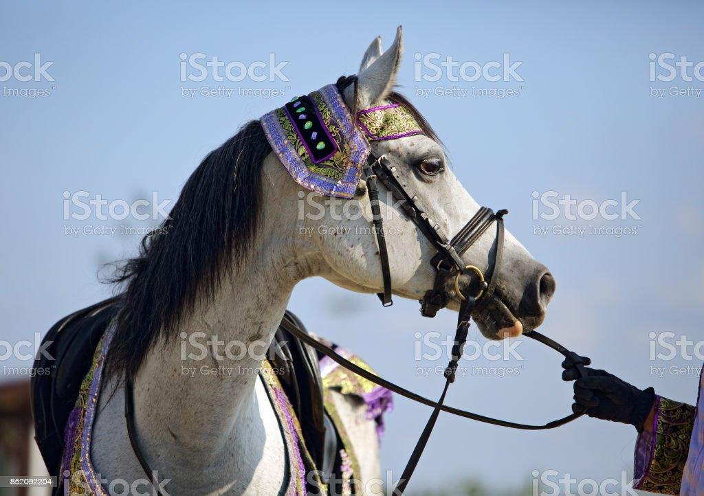Gray Arabian horse with decorative halter stock photo