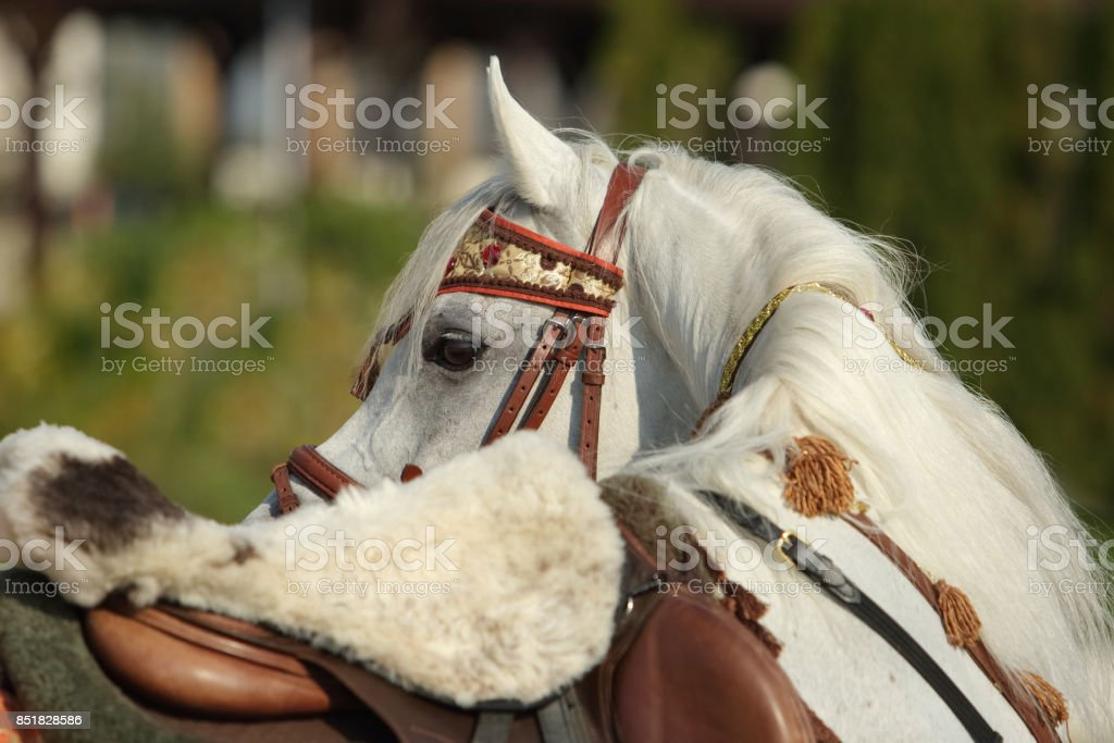Gray arabian stallion with traditional tack and saddle stock photo