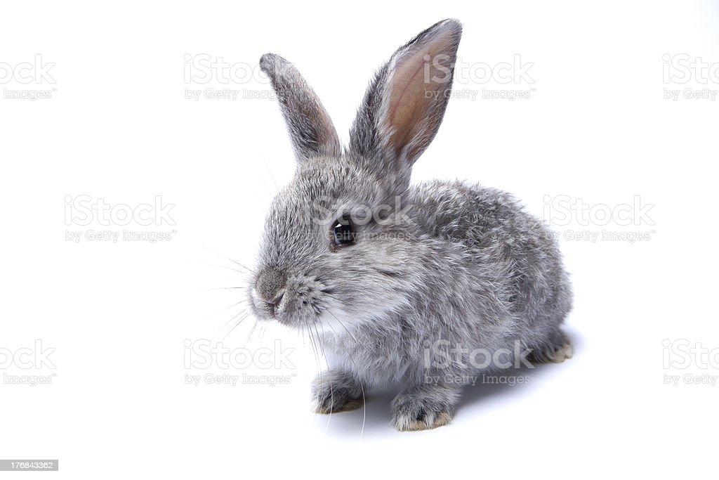 gray baby rabbit on a white background royalty-free stock photo