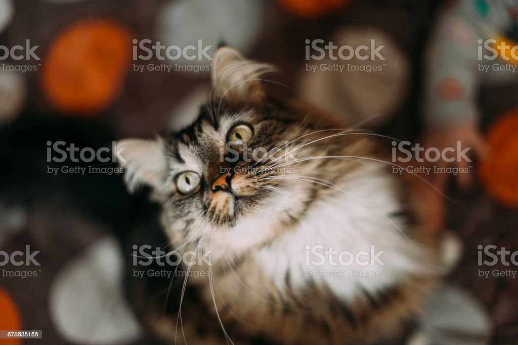 Gray beautiful cat with long whiskers long hair stock photo