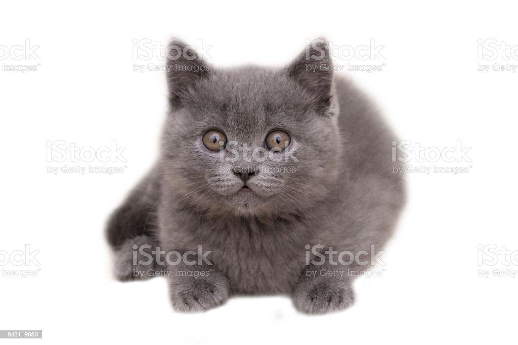 Gray beautiful kitten of British breed isolated on white stock photo