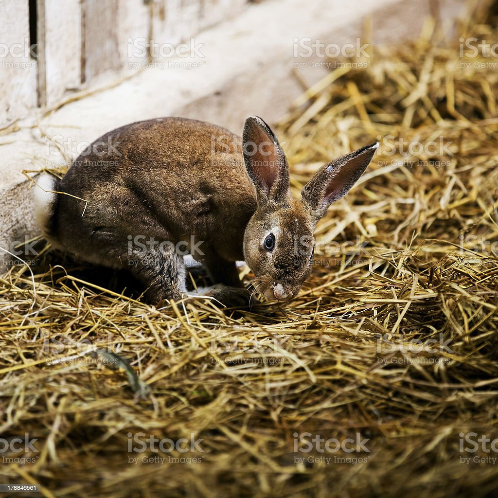 Gray bunny on a pile of straw. royalty-free stock photo