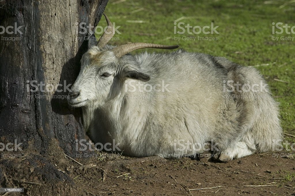 Gray Cashmere Goat Wool Tree Grass Horns royalty-free stock photo