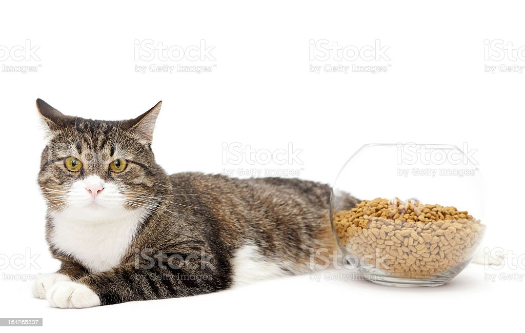 Gray cat and dry food royalty-free stock photo