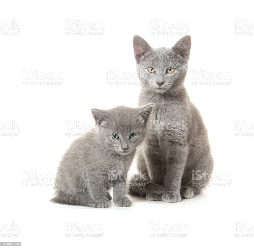 Gray cat and kitten stock photo