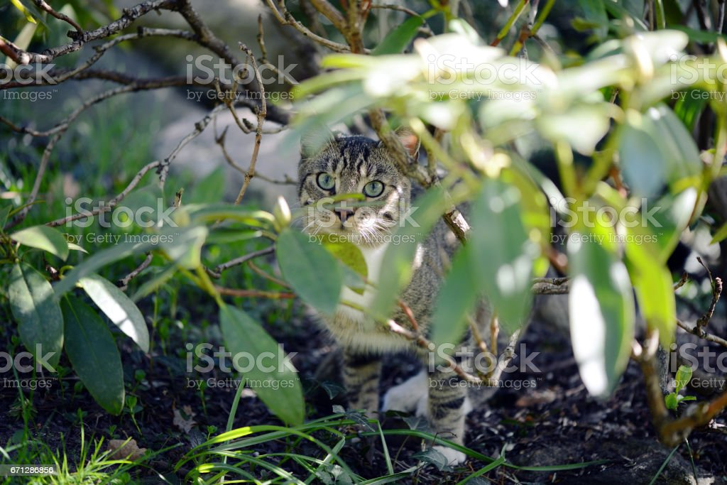 gray cat hiding between rhododendron twigs. hunting. stock photo
