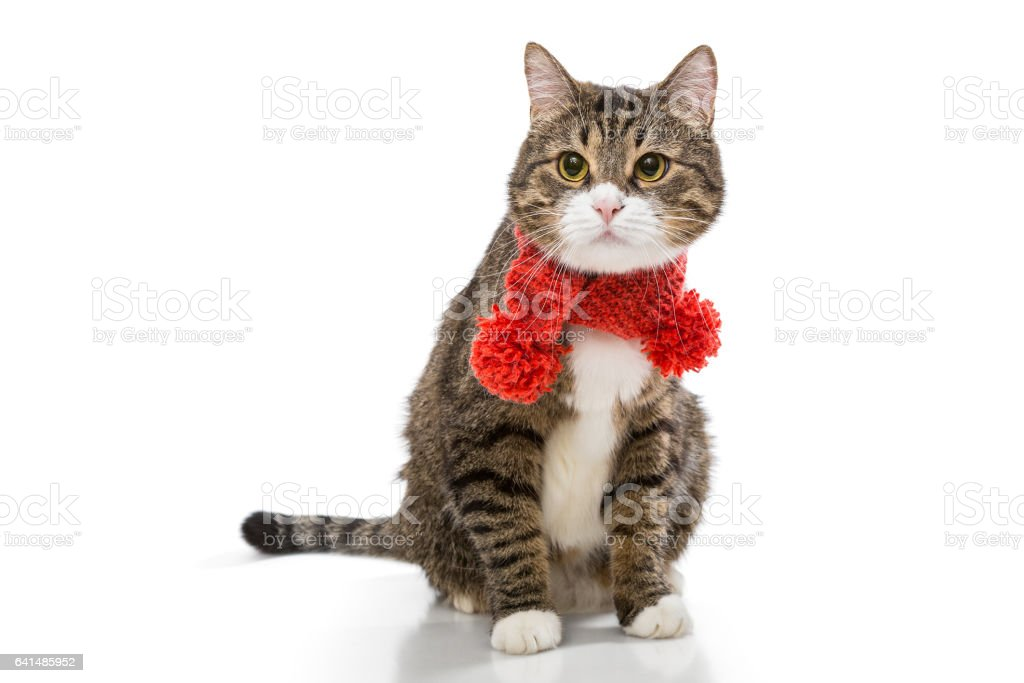 Gray cat in a red scarf stock photo