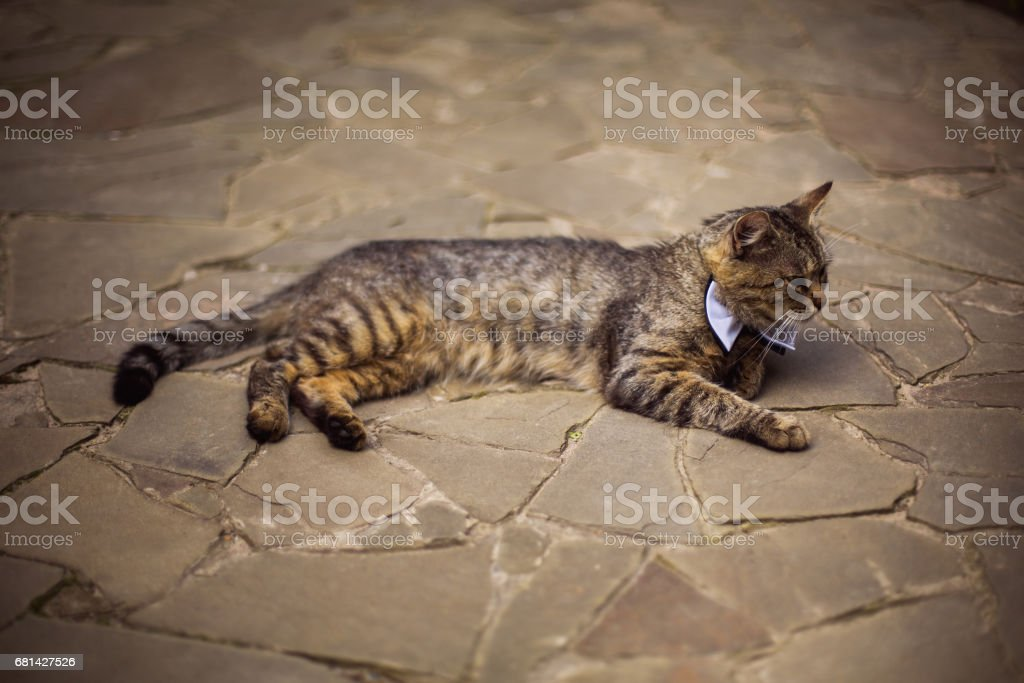 gray cat in bow tie, cat attire, preparing for the wedding, unusual wedding guest stock photo