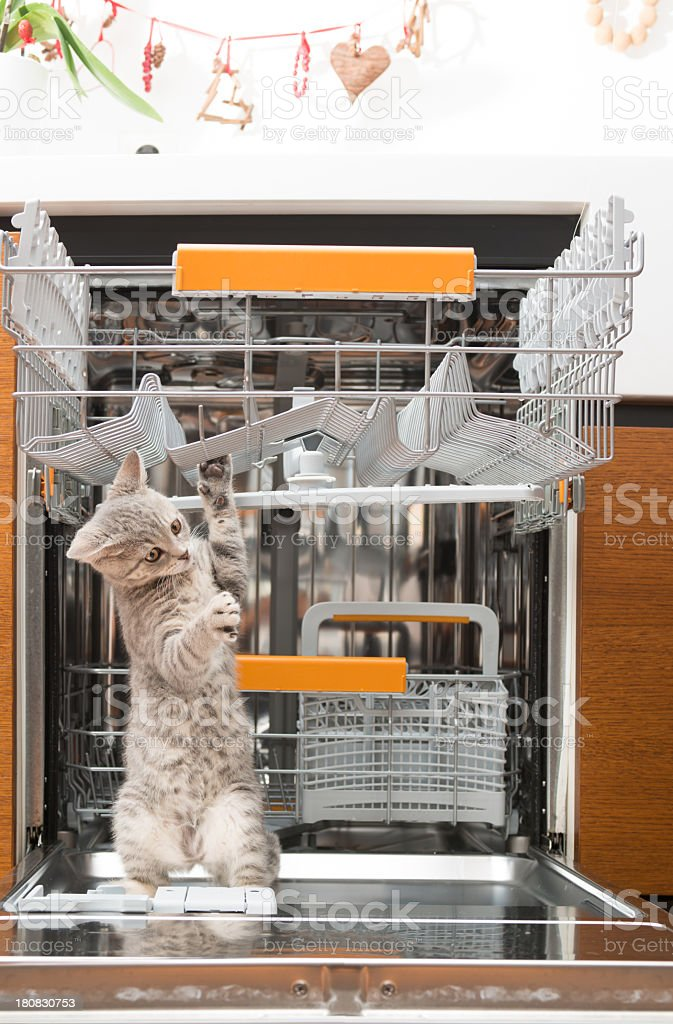 gray cat in dishwasher royalty-free stock photo
