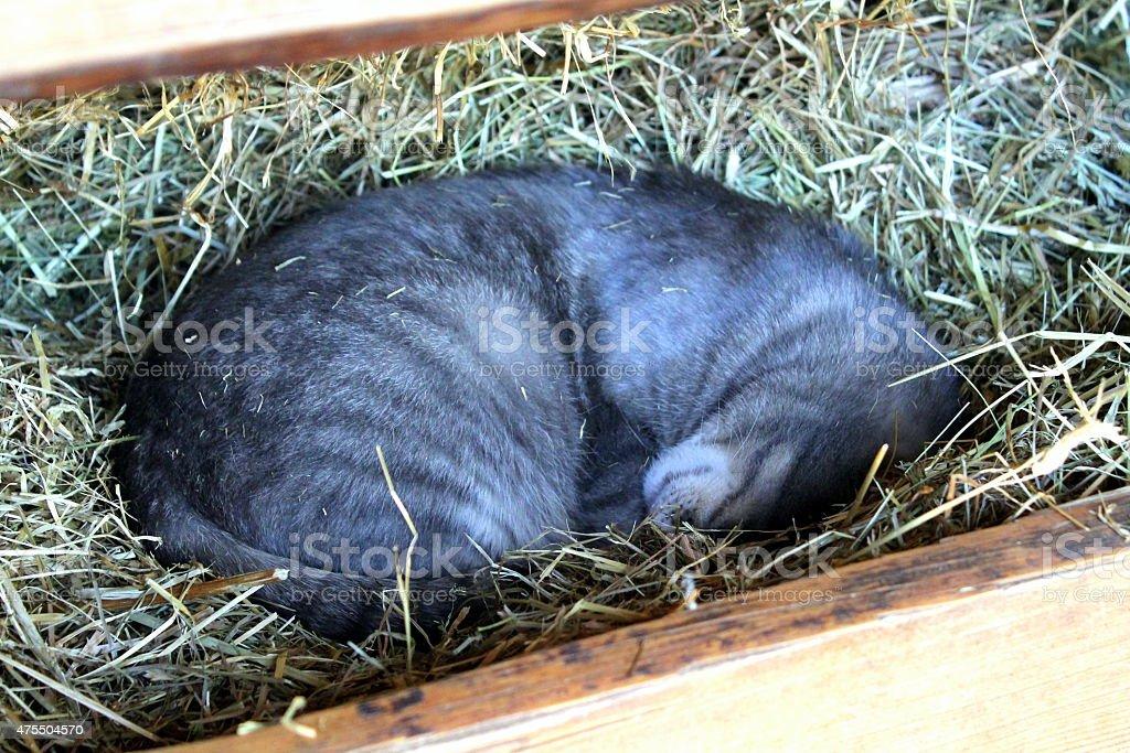 Gray Cat in hay stock photo