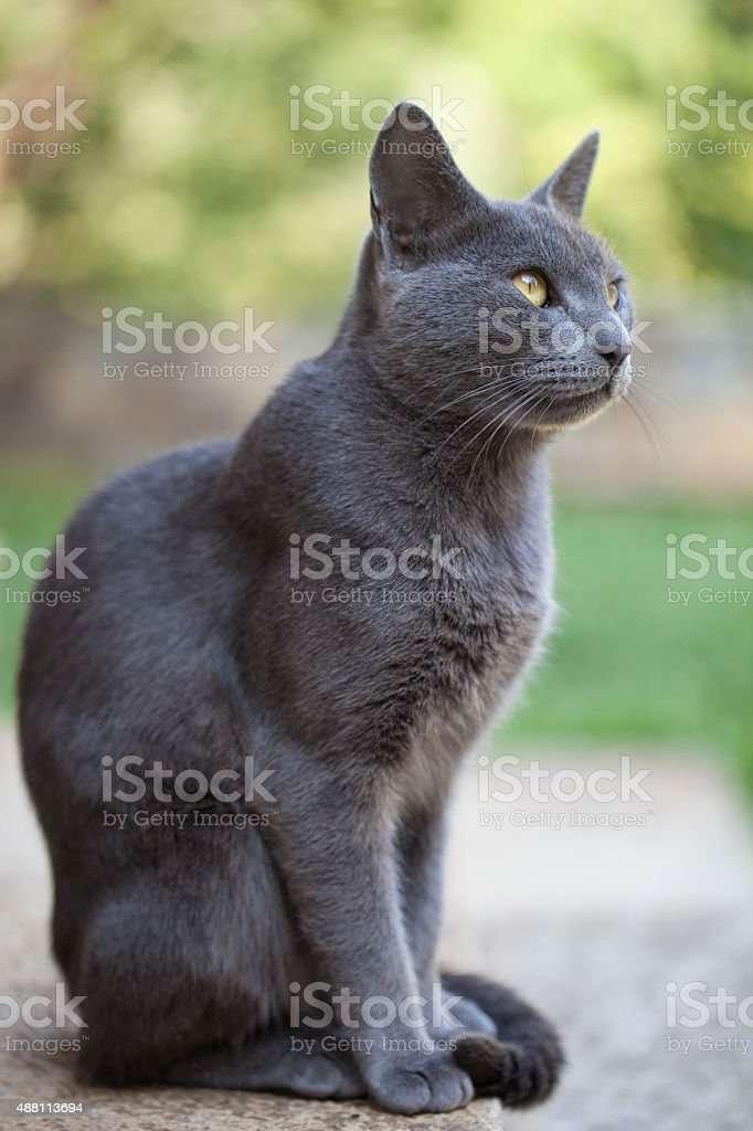 Gray cat stock photo