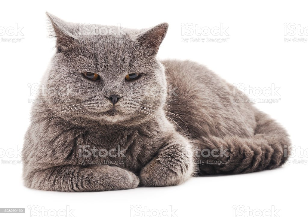 Gray cat with brown eyes. stock photo