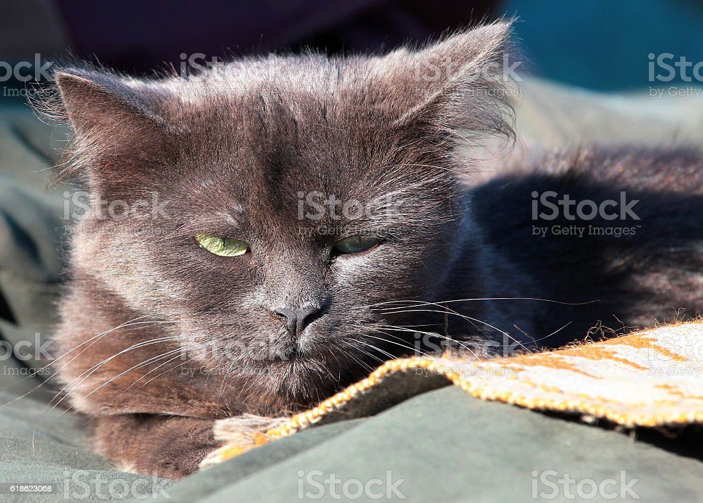 gray cat with menacing look stock photo