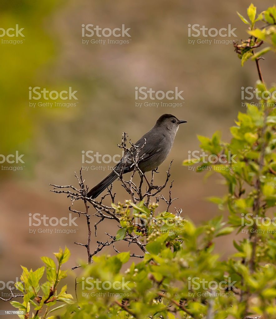 Gray Catbird in Spring royalty-free stock photo