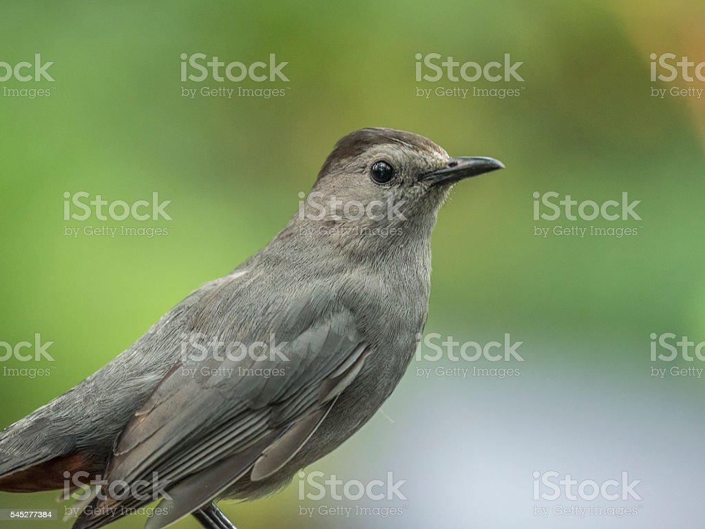 gray catbird,Dumetella stock photo