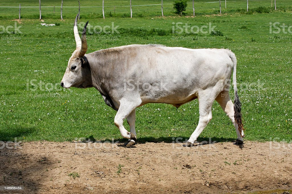 gray cattle royalty-free stock photo