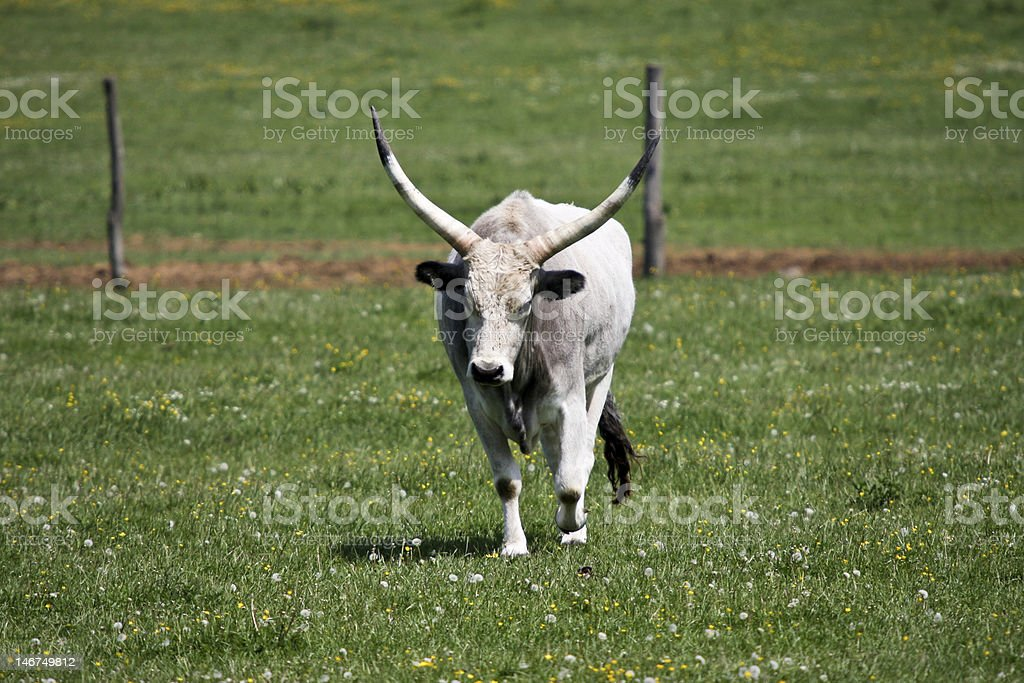 gray cattle1 royalty-free stock photo