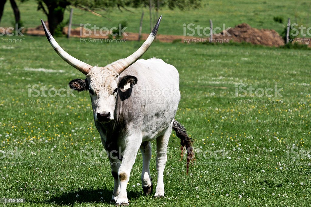 gray cattle2 royalty-free stock photo