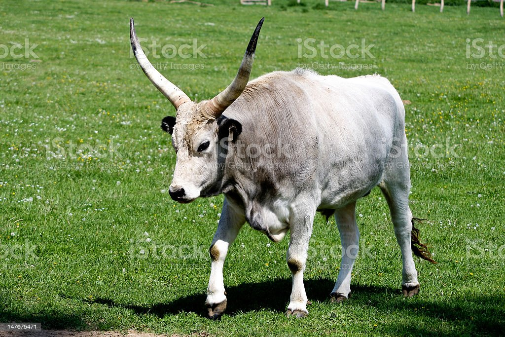 gray cattle3 royalty-free stock photo
