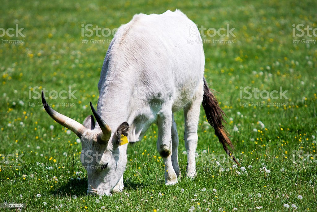 gray cattle4 royalty-free stock photo