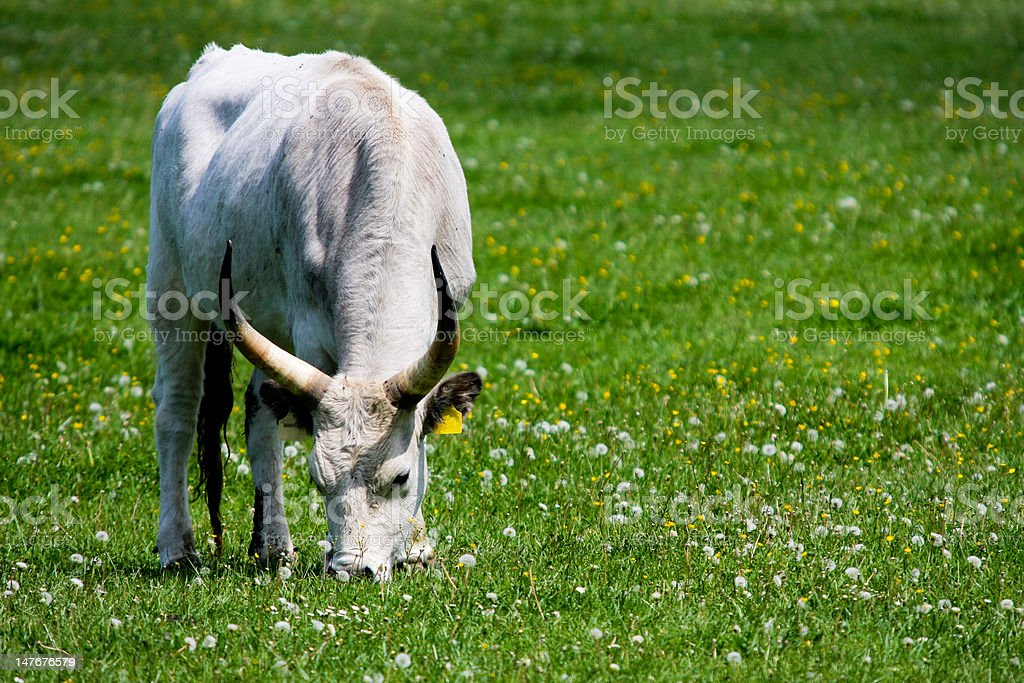 gray cattle7 royalty-free stock photo