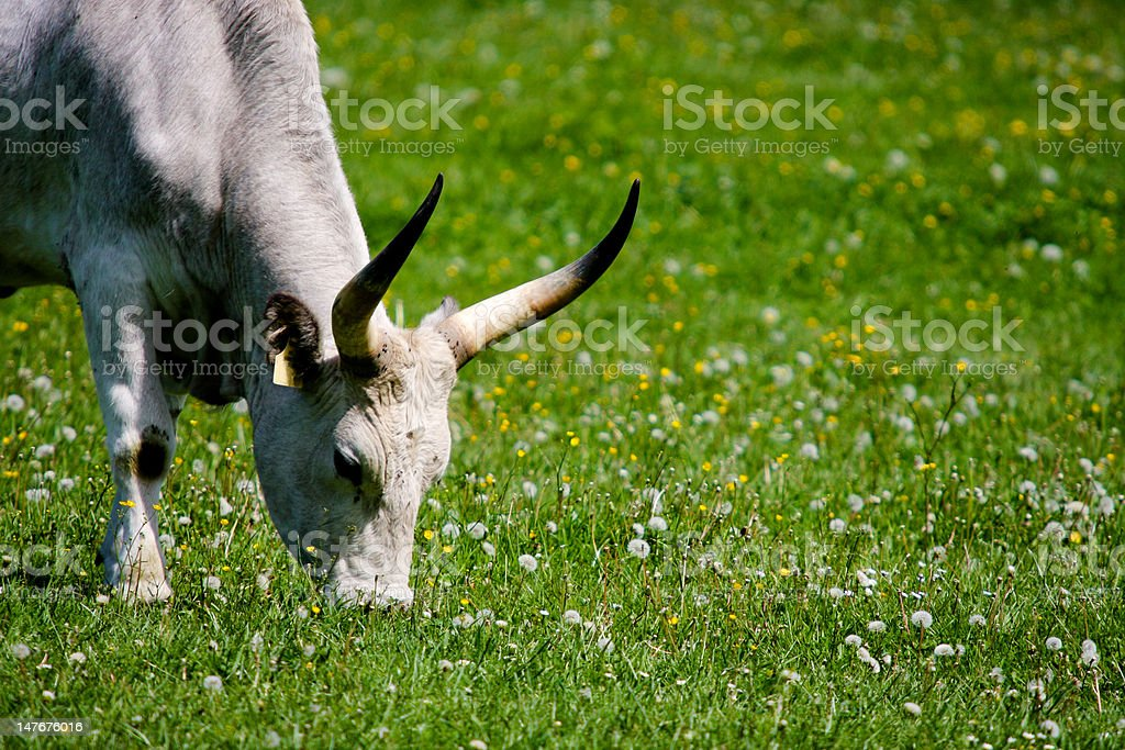 gray cattle8 royalty-free stock photo