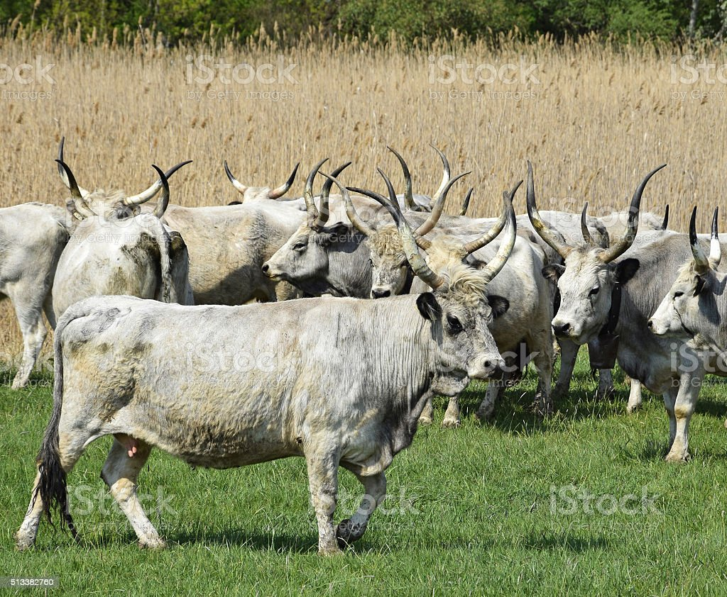 Gray cattles in a group stock photo