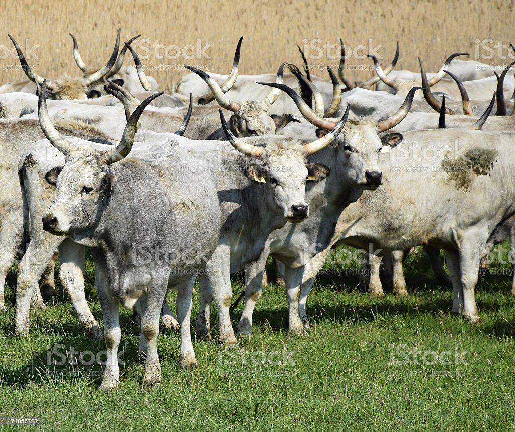 Gray cattles stock photo