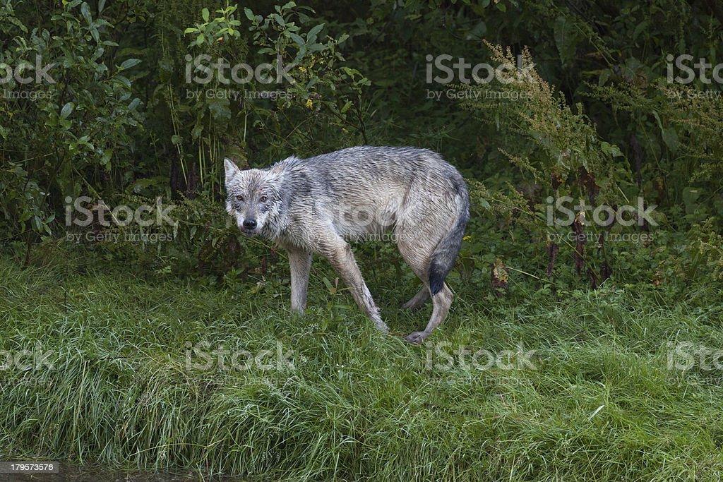 Gray Coastal Wolf stock photo