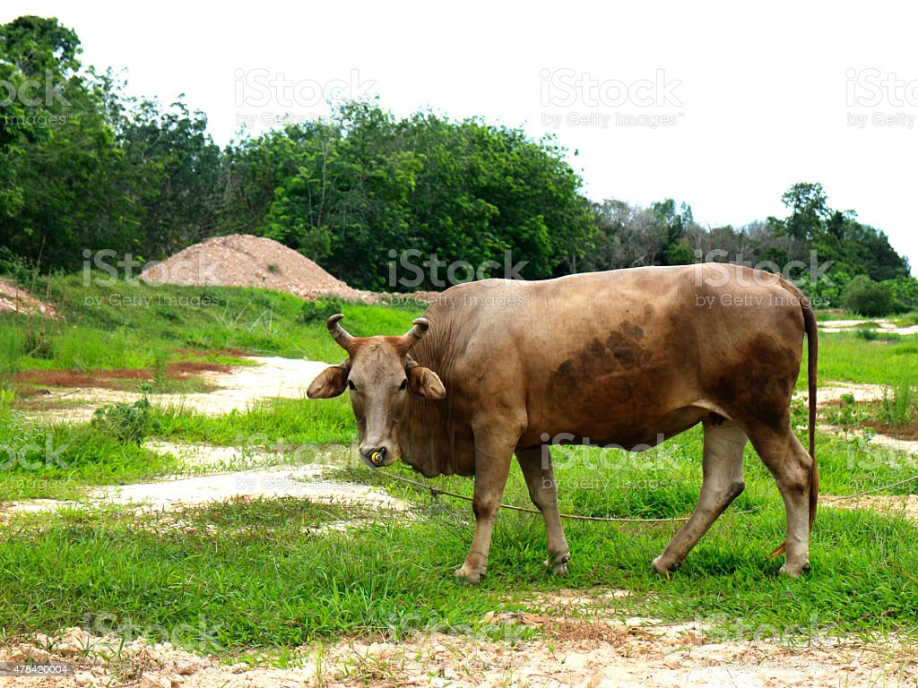 gray cow on green field royalty-free stock photo