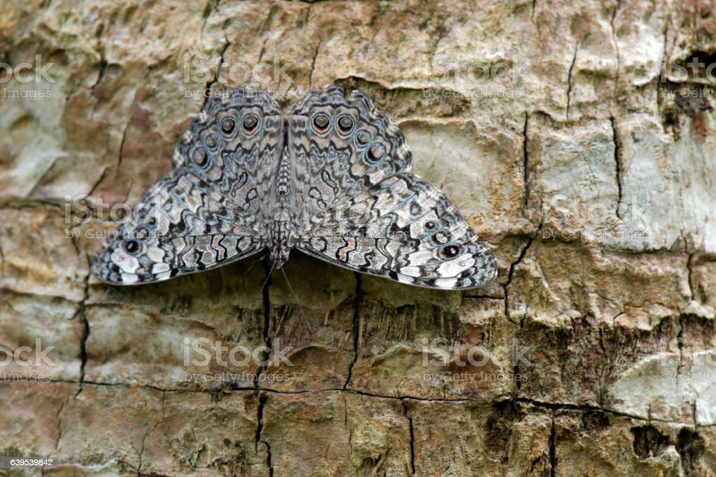 Gray cracker butterfly sighted in remnant of Atlantic Rainforest stock photo