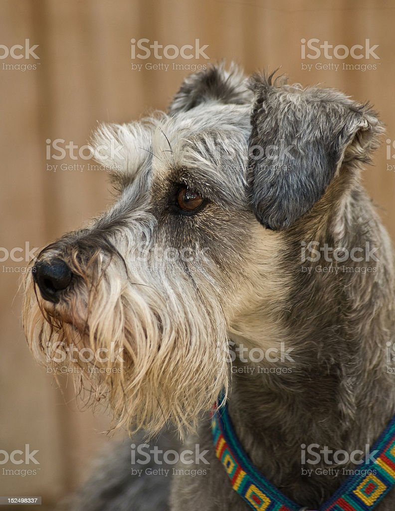 Gray dog profile standing position close up royalty-free stock photo