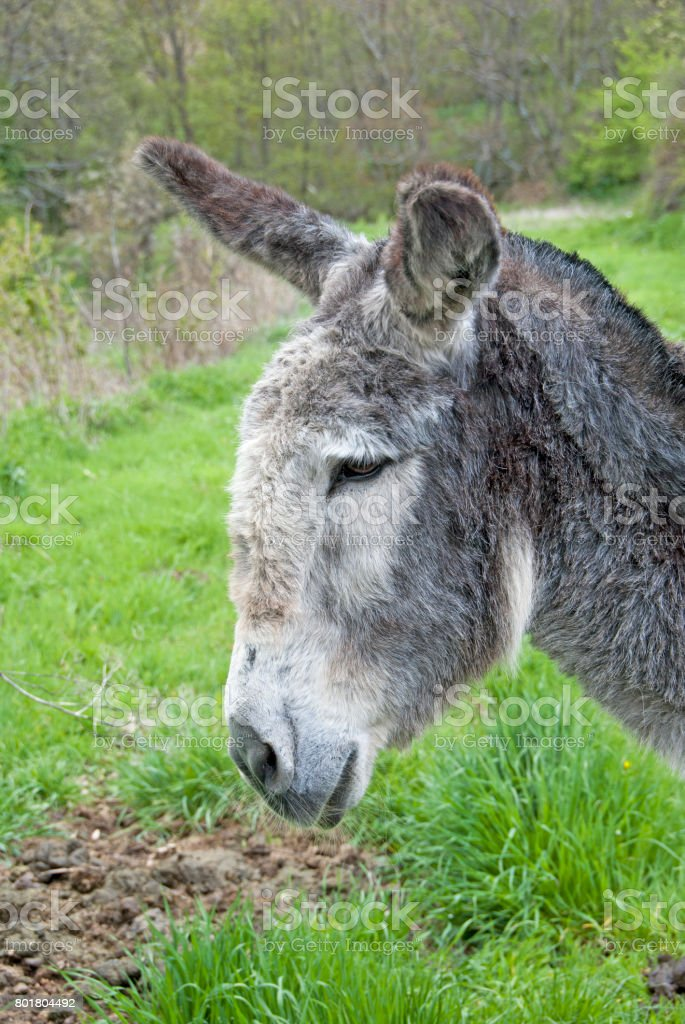 Gray donkey profile stock photo