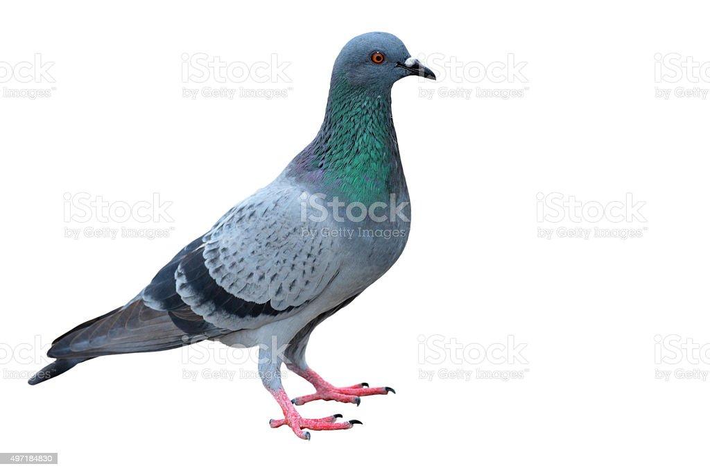gray dove stock photo