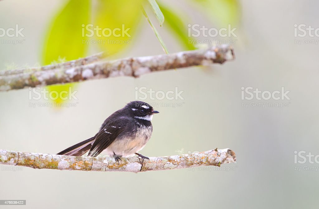 Gray Fantail, Queensland, Australia stock photo