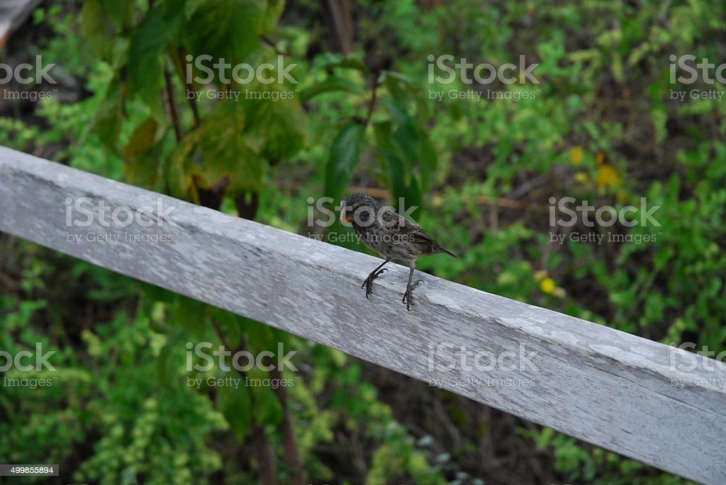 Gray Finch sitting on a fence rail royalty-free stock photo