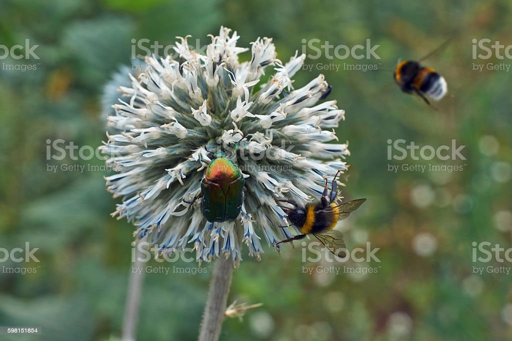 Gray flowers Echinops sphaerocephalus. stock photo