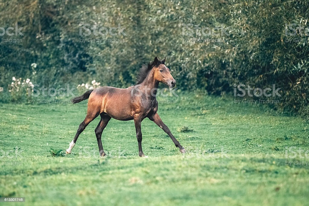 Gray foal  galloping in forest stock photo