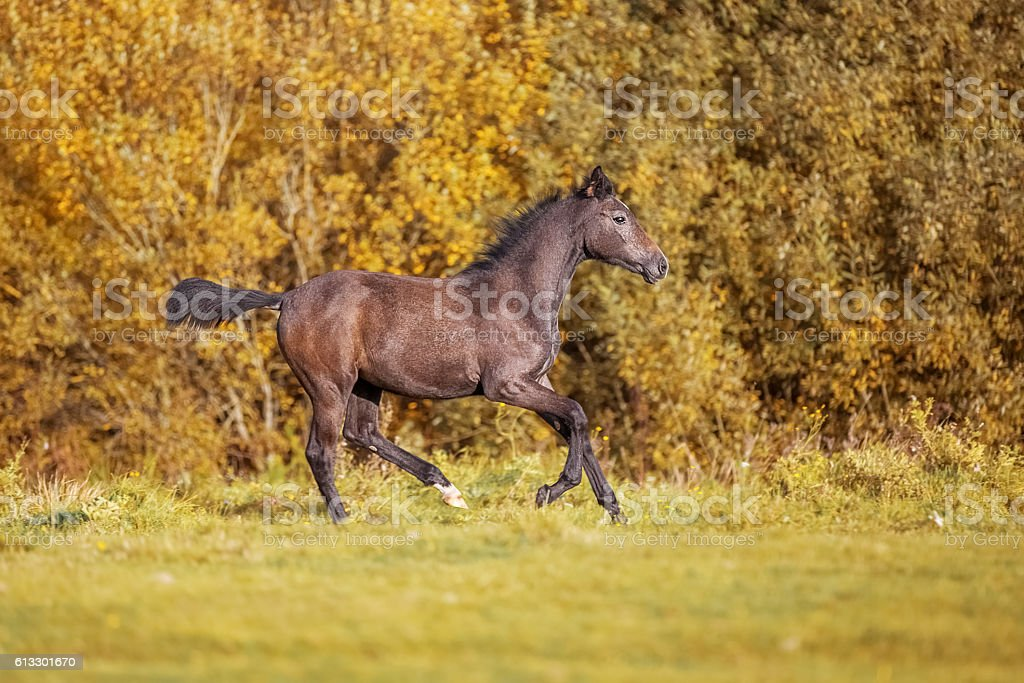 Gray foal galloping on autumn forest stock photo