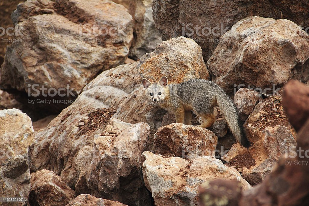 Gray Fox Kit Young royalty-free stock photo