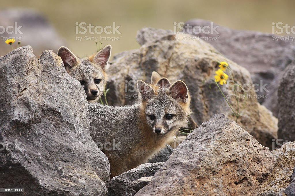 Gray Fox Kits Urocyon cinereoargenteus royalty-free stock photo