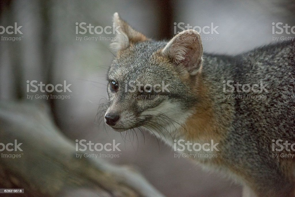 Gray fox stock photo