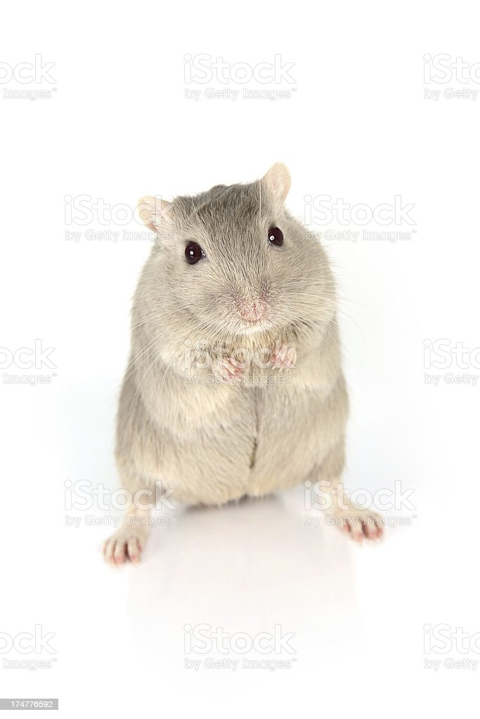 Gray Gerbil stock photo