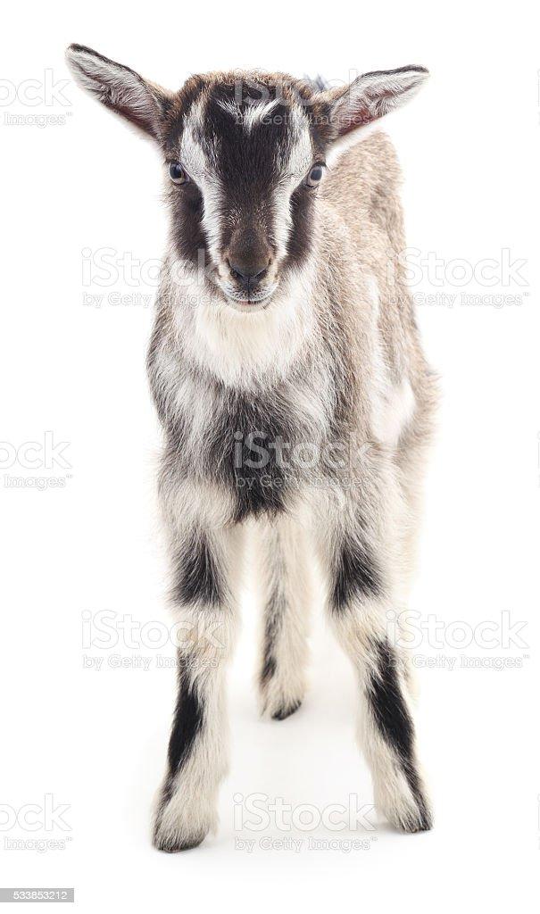 Gray goat. stock photo