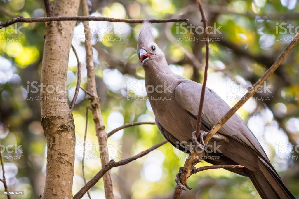 A single gray Go-Away Bird sits on a branch in a Knysna forest alone....