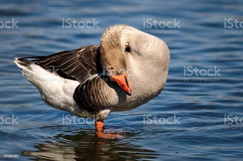 Gray Goose Preening stock photo